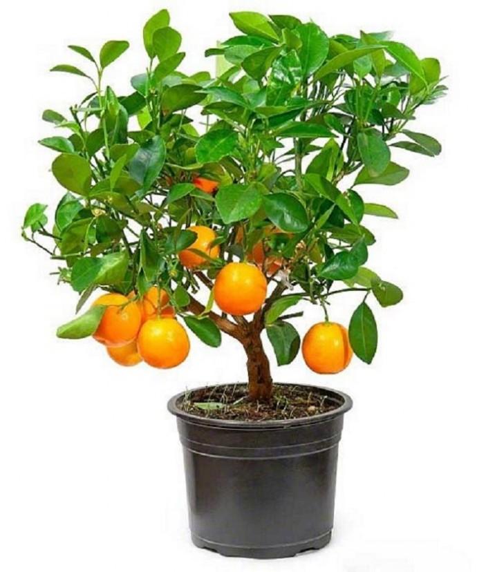 Мандариновое дерево в цветах